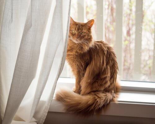 Somalikatze auf der Fensterbank