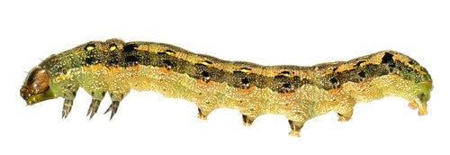 Spodoptera Littoralis Raupen