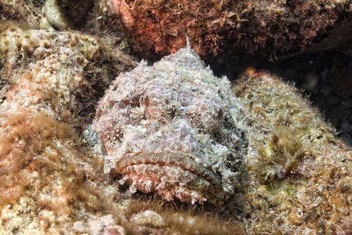 Steinfisch, der fast unsichtbare Meeresbewohner