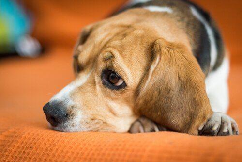 Symptome des Coronavirus bei Hunden