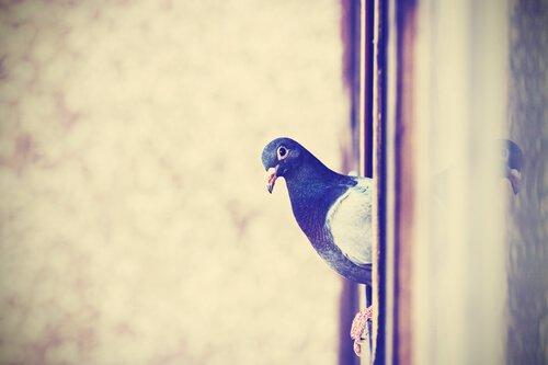 Taube schaut ganz unschuldig