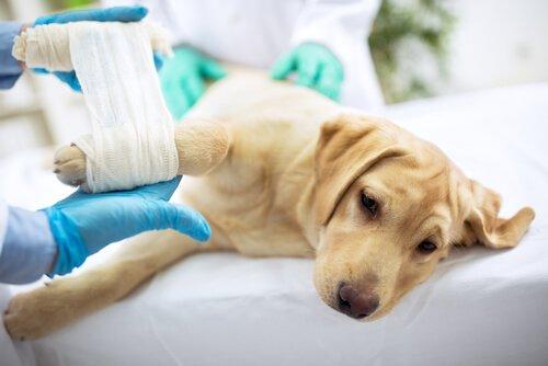 Verletzte Fellnase beim Tierarzt