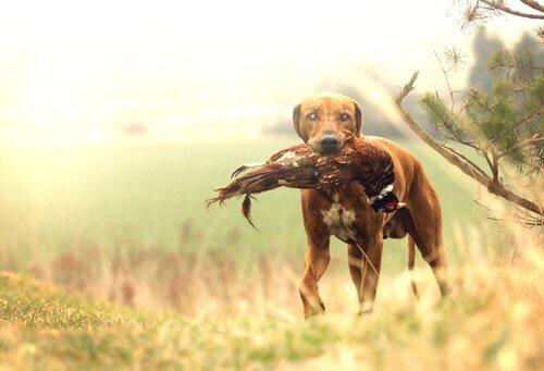 Kennst du die beste Jagdhundrasse?