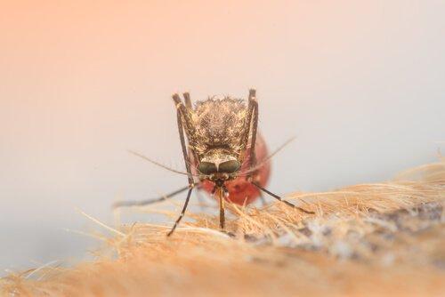 Zika Virus wird durch die Aedes-Mücke übertragen