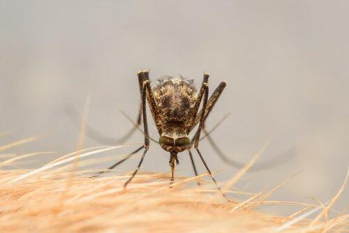 Zika Virus wird durch Mücken übertragen