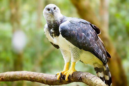 Adler ist auf der Liste der Tiere mit den größten Krallen