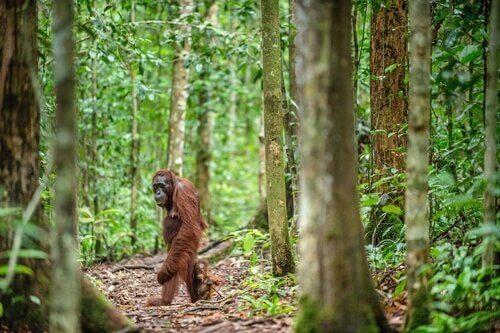 Borneo Orang-Utan ist vom Aussterben bedroht