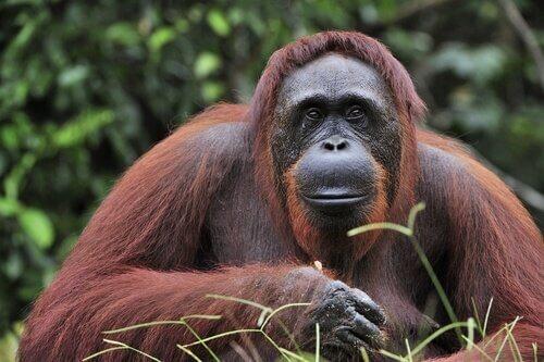 Schutz des Borneo Orang-Utan