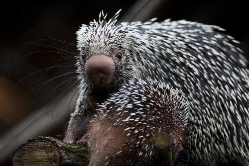 Brasilianischer Greifstachler: ein eigenartiges Stachelschwein