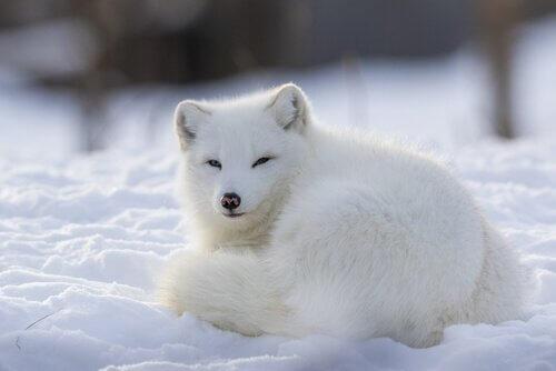 Der Polarfuchs: ein soziales und territoriales Tier