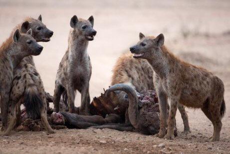 Die Hyäne übt Kleptoparasitismus aus
