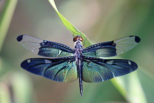 Die Metamorphose der Libelle: Wissenswertes