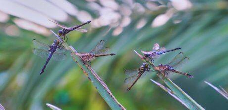 Die Metamorphose der Libelle hat drei Phasen