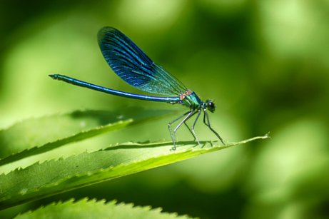 Die Metamorphose der Libelle