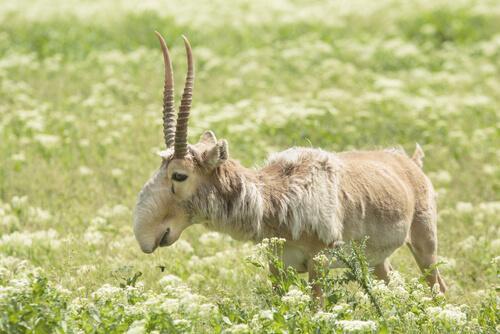 Die Saigaantilope ist stark gefährdet - durch Wilderei.