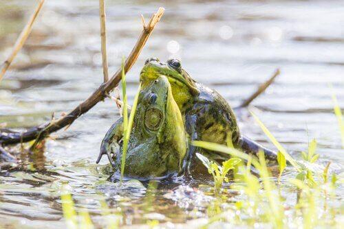 Fortpflanzung des Ochsenfrosches