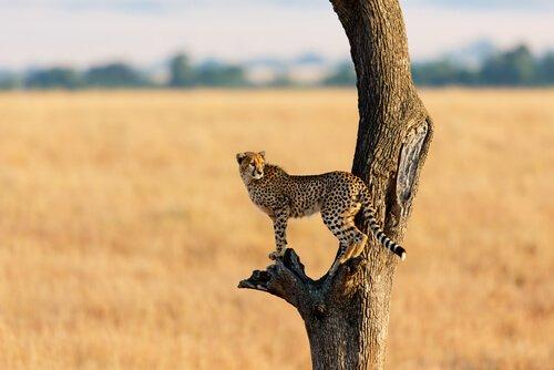 Gepard auf Baumstamm