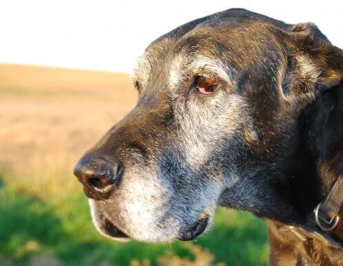 Graue Haare bei Hunden: Ursachen und Tipps