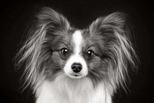 Graue Haare bei jungen Hunden