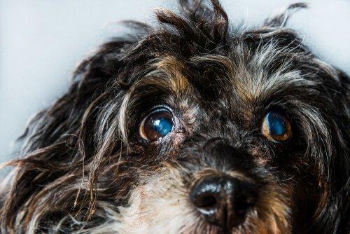 Grüner Star bei Hunden: Symptome und Behandlung