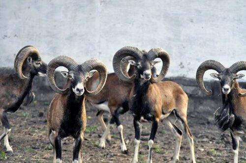 Herde von Wildschafen