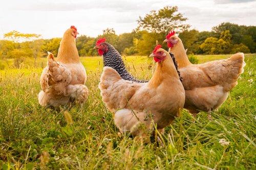 Wissenswertes über Hühnerrassen und -größen