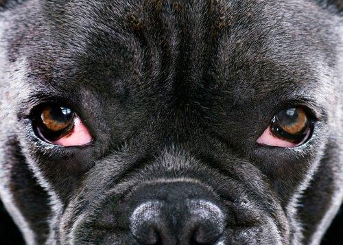 Hund mit entzündeten Augen