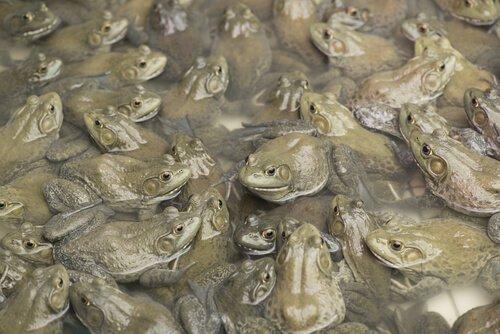 Invasion des Ochsenfrosches