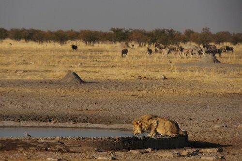 Löwe in der Wüste