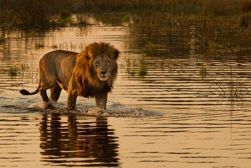 Löwen aus Namibia, die im Meer jagen