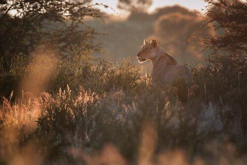 Löwin aus Namibia