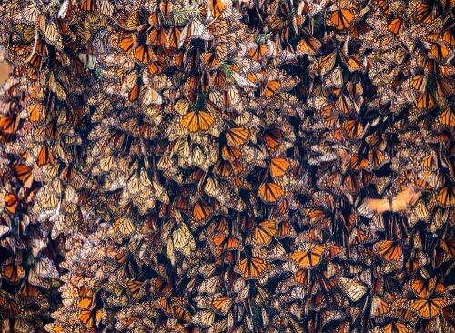 Massenmigration bei Insekten