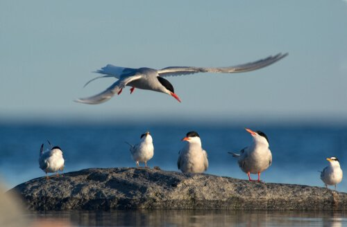 Massenmigrationen bei Vögeln