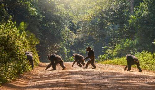 Menschenaffen reagieren auf Kamerafallen. Dabei unterscheidet sich die Reaktion von Schimpansen und Bonobos.