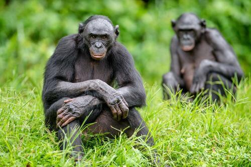 Menschenaffen reagieren auf Kamerafallen. Deshalb muss man die Kamerafallen besser tarnen oder die Wildtiere daran gewöhnen.