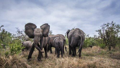 Musth bei Elefanten dauert zwei Monate