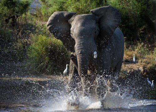 Elefanten in der Musth: Was ist das?