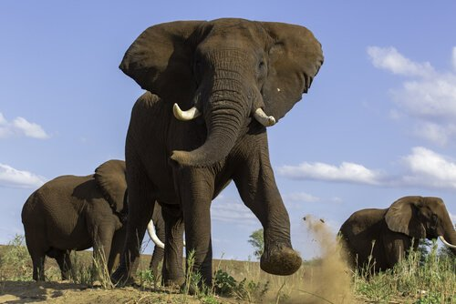 Musth macht Elefanten aggressiv