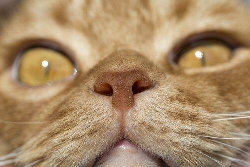 Nase einer Katze