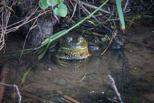 Ochsenfrosch: Verbreitung und Lebensraum