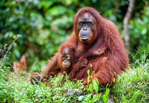 Orang-Utan Mama und Baby