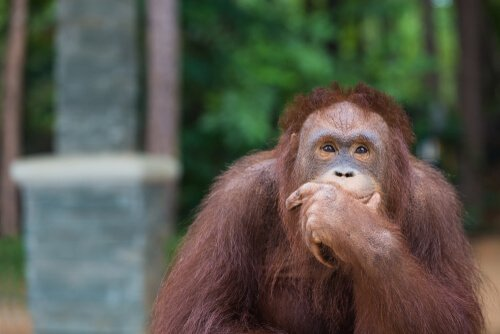 Wie der Orang-Utan einen Haken benutzt