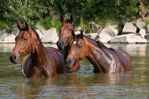 Pferde im Sommer beim Baden