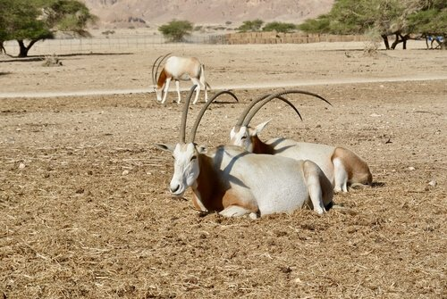 Säbelantilope: ein Bewohner Nordafrikas