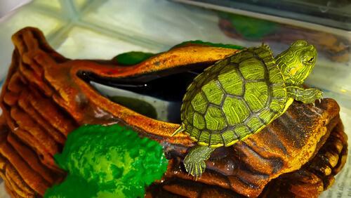 Schnupfen bei Schildkröten betrifft häufig Wasserschildkröten.