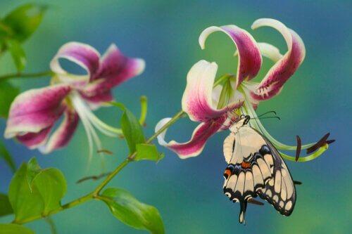 Schwalbenschwanz an Blüte