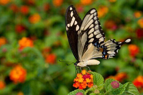 Großer Schwalbenschwanz: exotischer Schmetterling