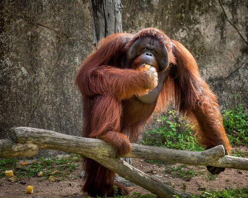 Studien über den Orang-Utan