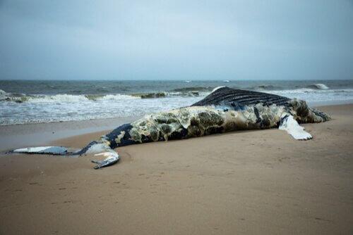 Toter Wal am Strand