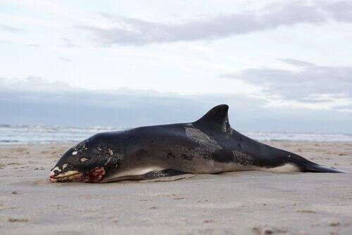 Warum explodieren tote Wale?